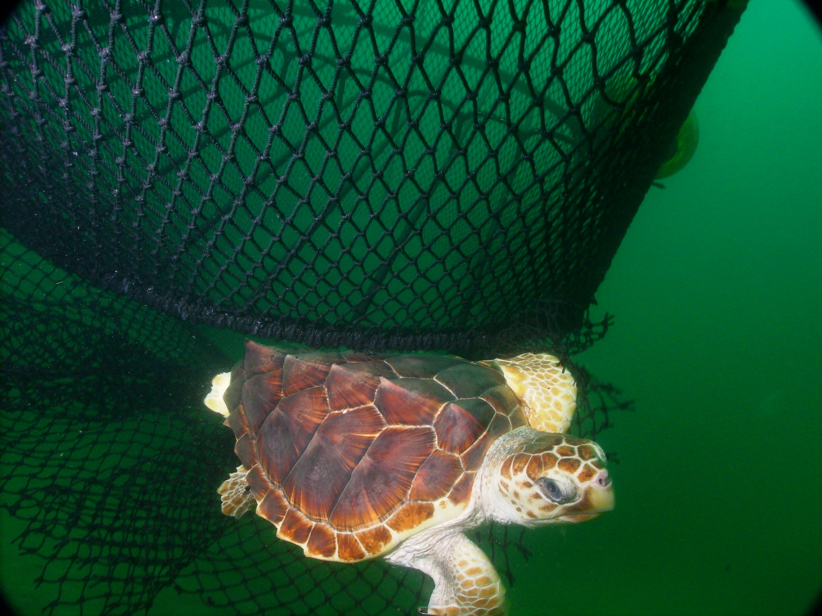 Turtle escaping the bottom of a shrimp net through a turtle excluder device. Source: National Oceanic and Atmospheric Administration