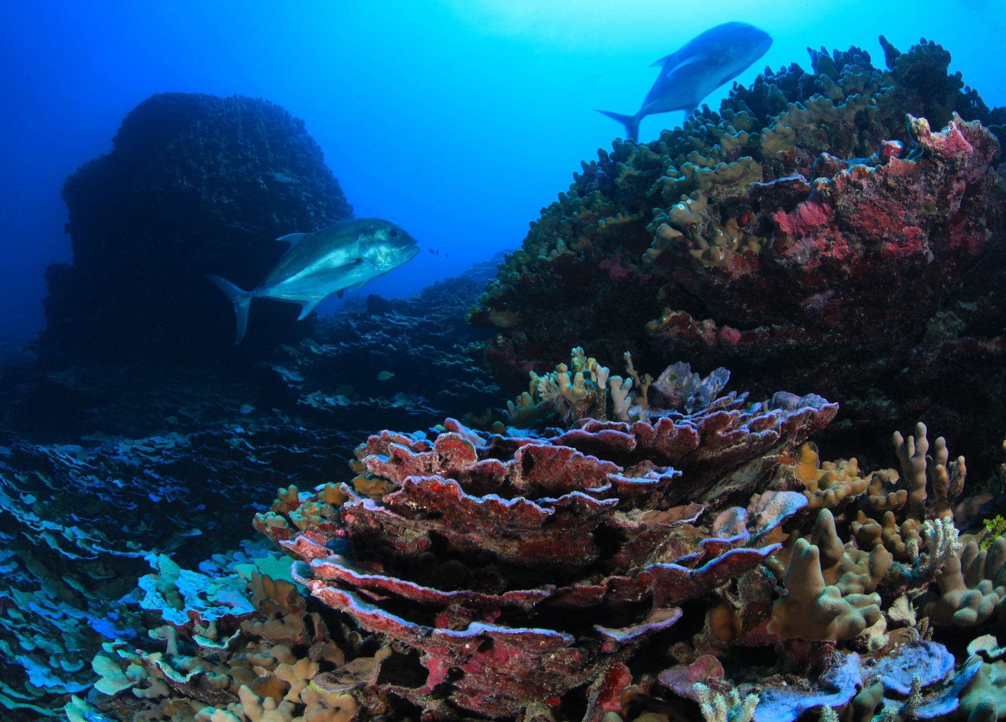 Coral and Ulua found in the Papahānaumokuākea Marine National Monument. Coral reefs found in Papahānaumokuākea are home to over 7,000 marine species, one quarter of which are found only in the Hawaiian Archipelago. (Original source and more information: National Oceanic and Atmospheric Administration National Ocean Service Image Gallery)
