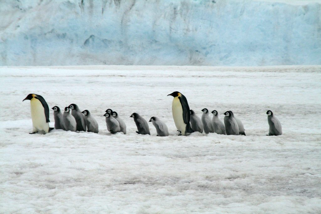 Emperor Penguins guide their young across the frozen tundra of Antarctica. October 2008 [Pixaby]