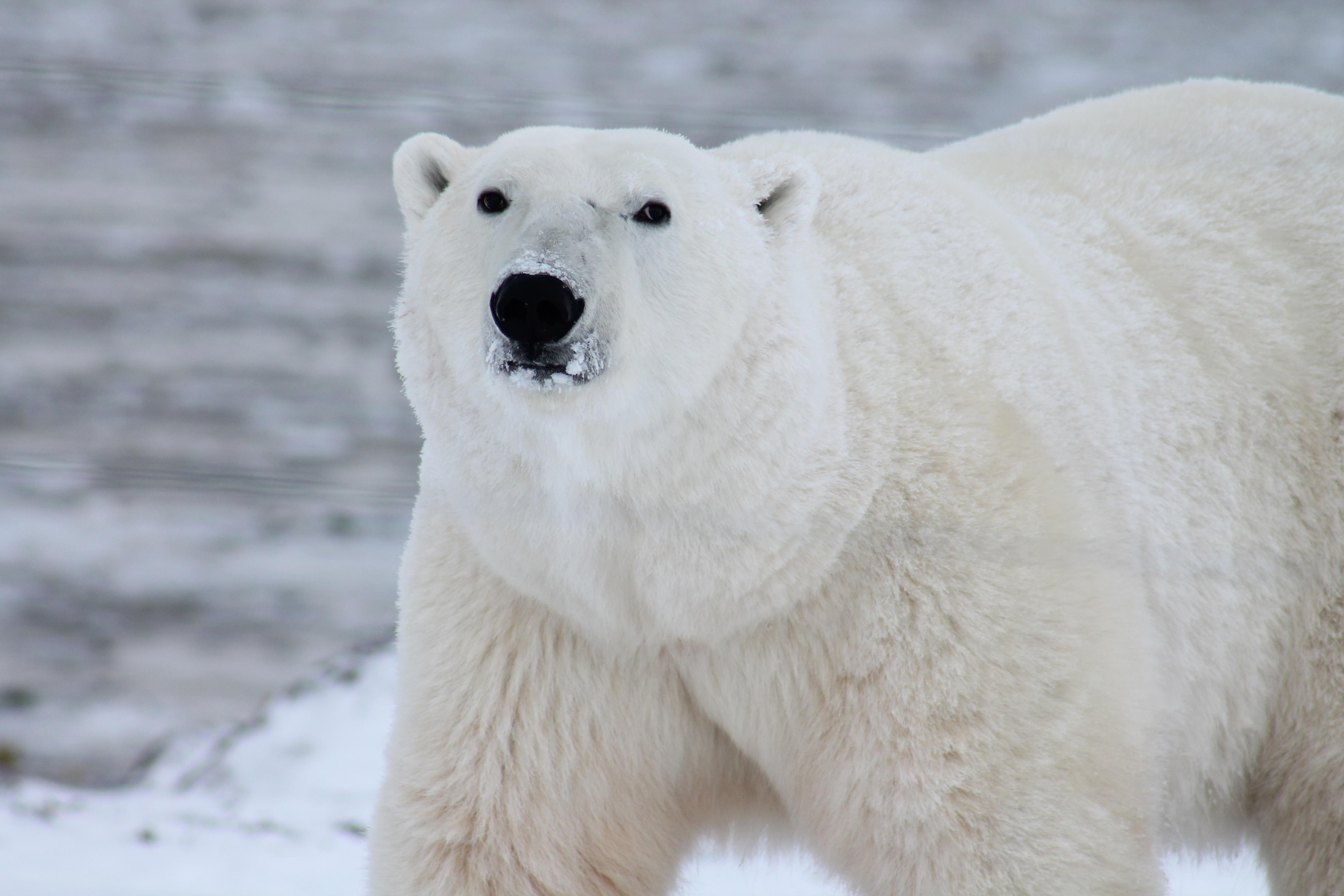 A polar bear roams the Arctic tundra. November 2013. [Pixaby]