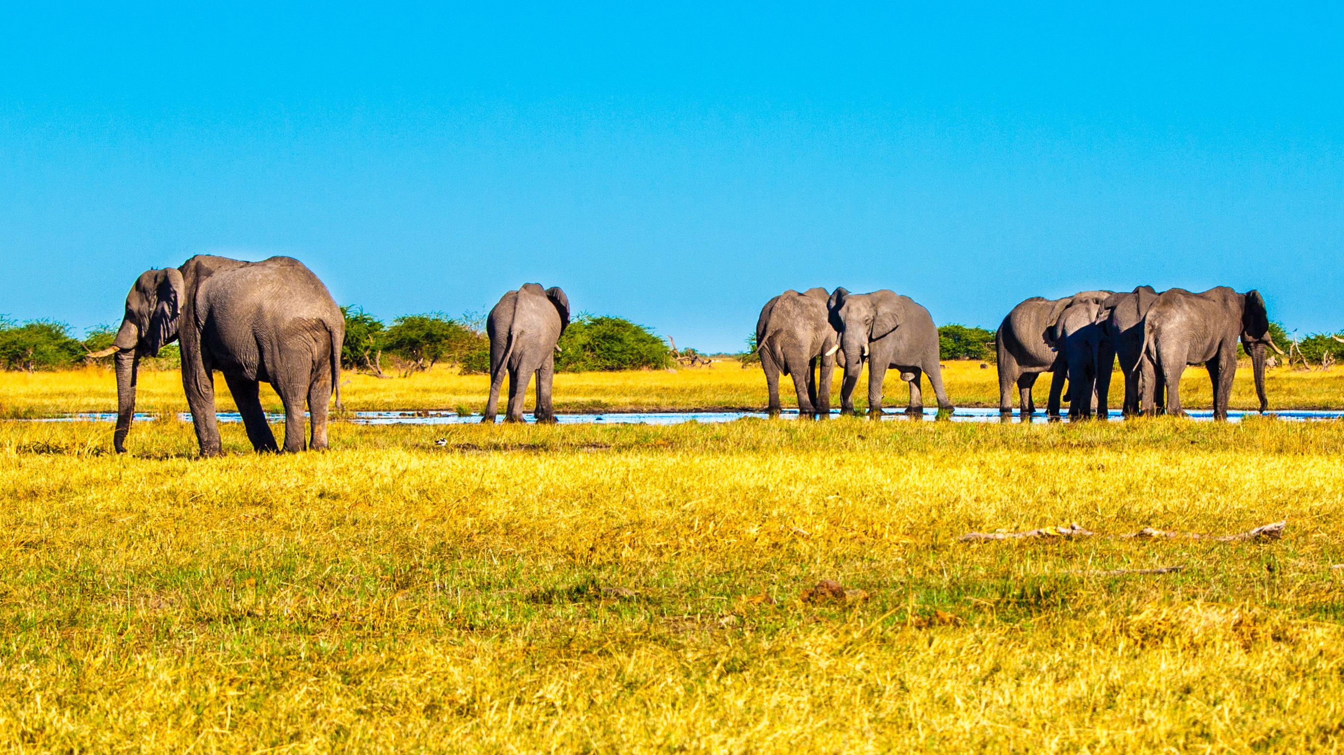 Herd of african elephants at waterhole. Chobe National Park, Okavango Region, Botswana, Africa. Panorama image. - Image [Shutterstock]