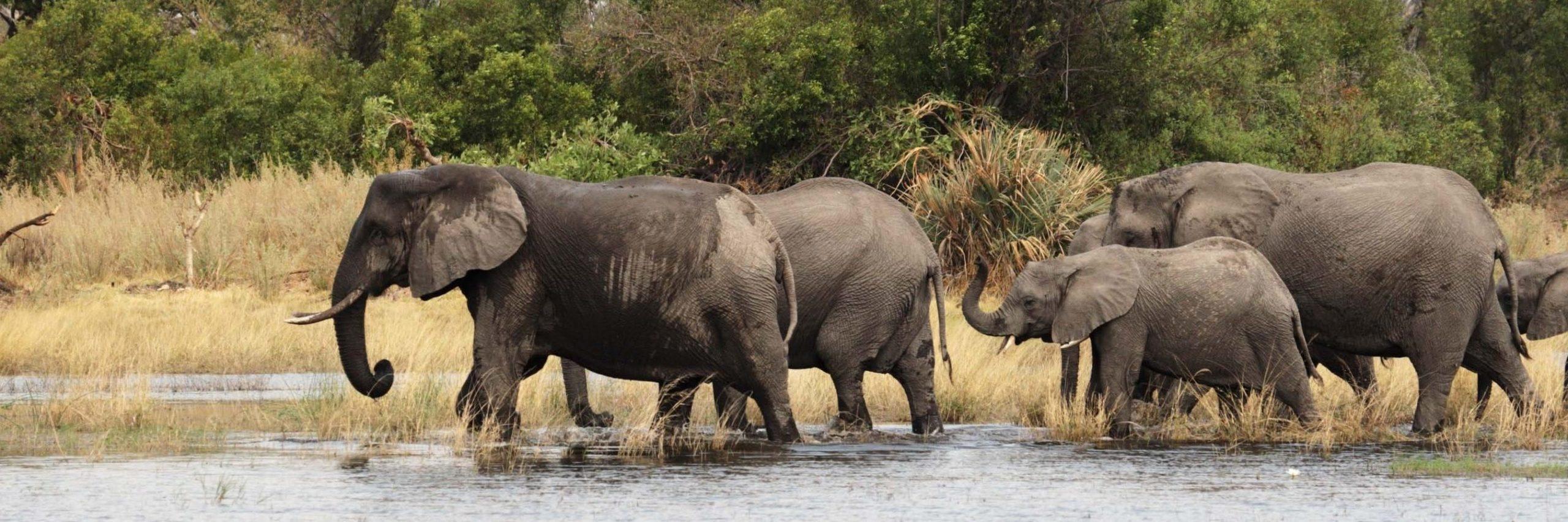 Elephants (Loxodonta africana) in the Okavango Delta, Botswana. - Image