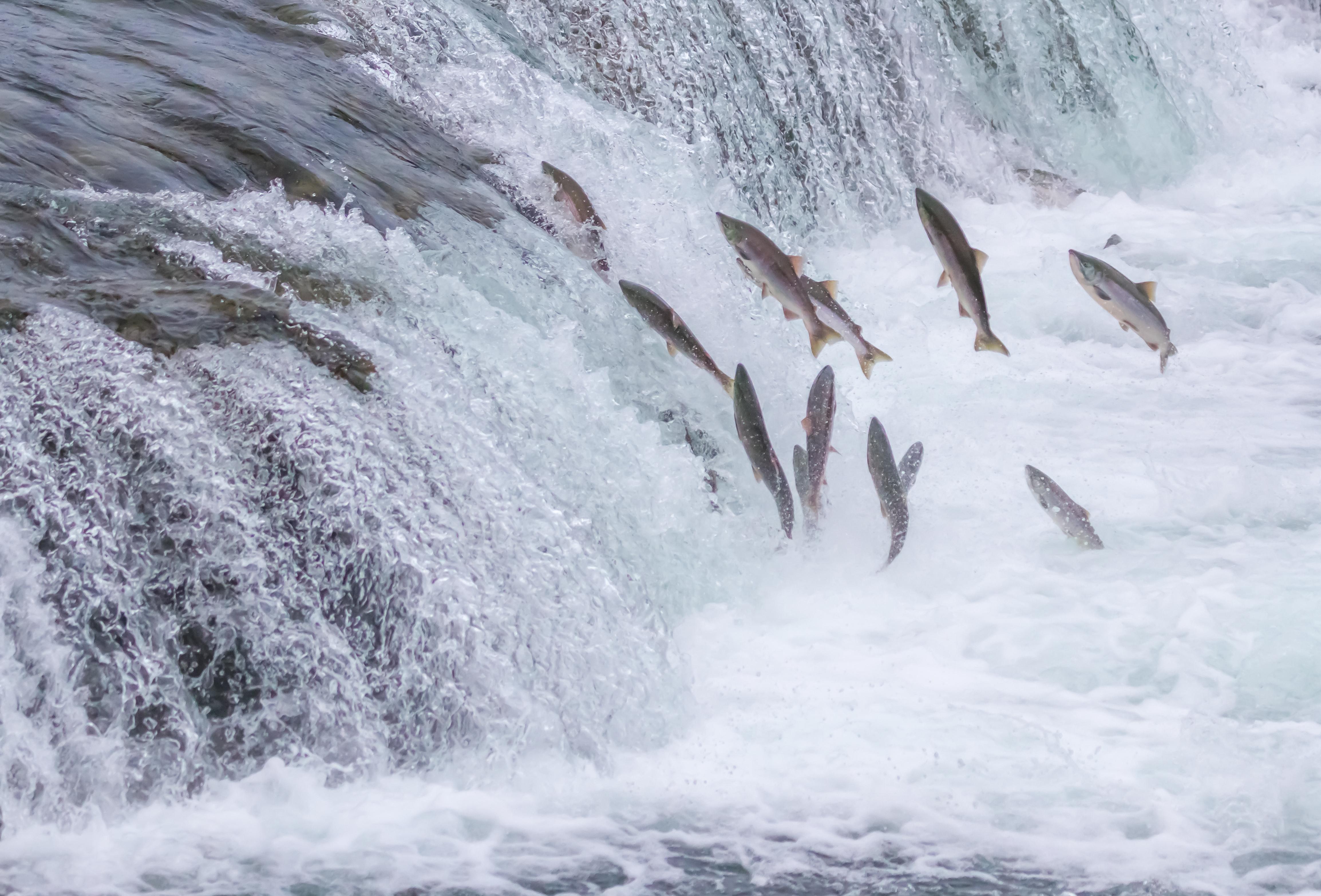 Pacific Salmon Jumping Up the Brooks Falls at Katmai National Park, Alaska (Original source: Shutterstock)