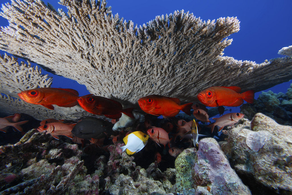 Rapture Reef sits within the Northwestern Hawaiian Islands Marine National Monument. The monument encompasses more than 140,000 square miles of ocean and coral reef habitat. (Original source and more information: NOAA National Ocean Service Image Gallery)