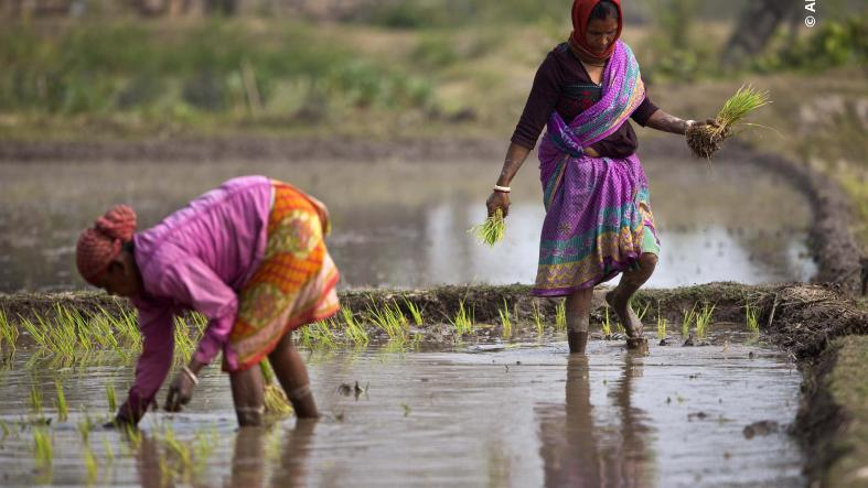 Indian women plant rice saplings in a paddy field on the outskirts of Gauhati, India
