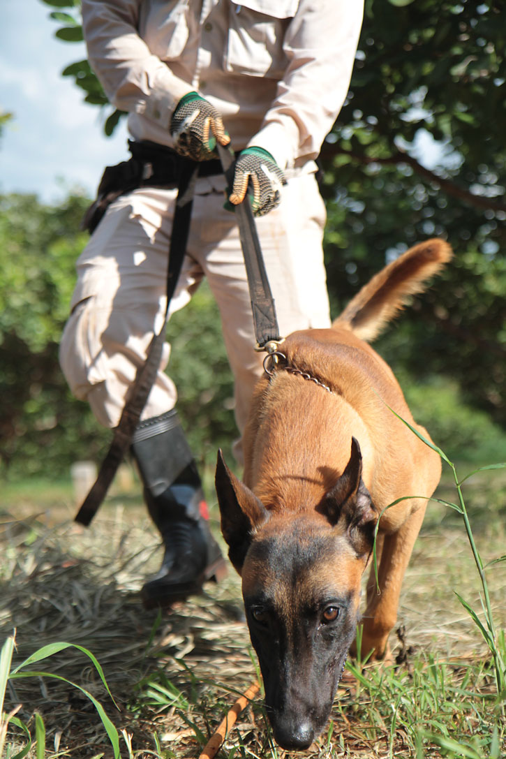 A mine detection dog and his handler work in Cambodia. Photo courtesy of NPA.