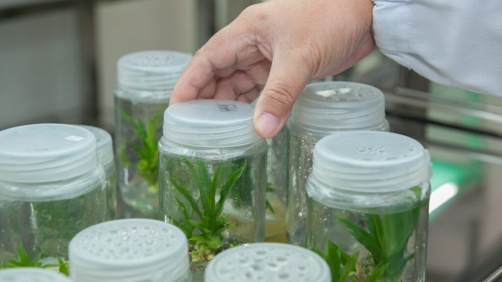 Cultures of plant tissues used for biotechnological research