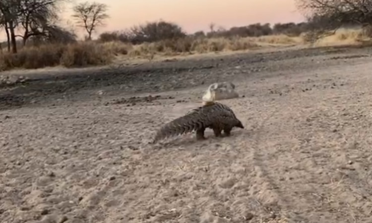 On July 29 the pangolin was released by the Blue Rhino Task Team members in the presence of a scientific researcher in cooperation with the Ministry of Environment, Forestry and Tourism as well as the Namibian Police.