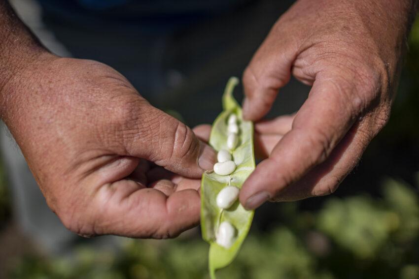 Farmworker displays a harvested pea pod (Photo Credit – Preston Keres)