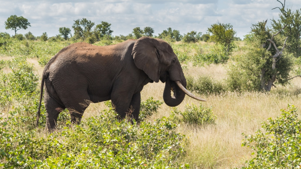 An elephant stands alone in Kruger National Park, South Africa. Landmines endanger the migration of elephants between South Africa's Kruger National Park and Zimbabwe's Gonarezhou National Park. (Department of State photo)