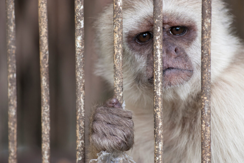 A monkey with sad face trapped in a cage