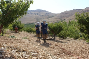 A U.S.-funded MAG team searches orchards for landmines and IEDs left by extremists in northeast Lebanon. (Photo courtesy of MAG)