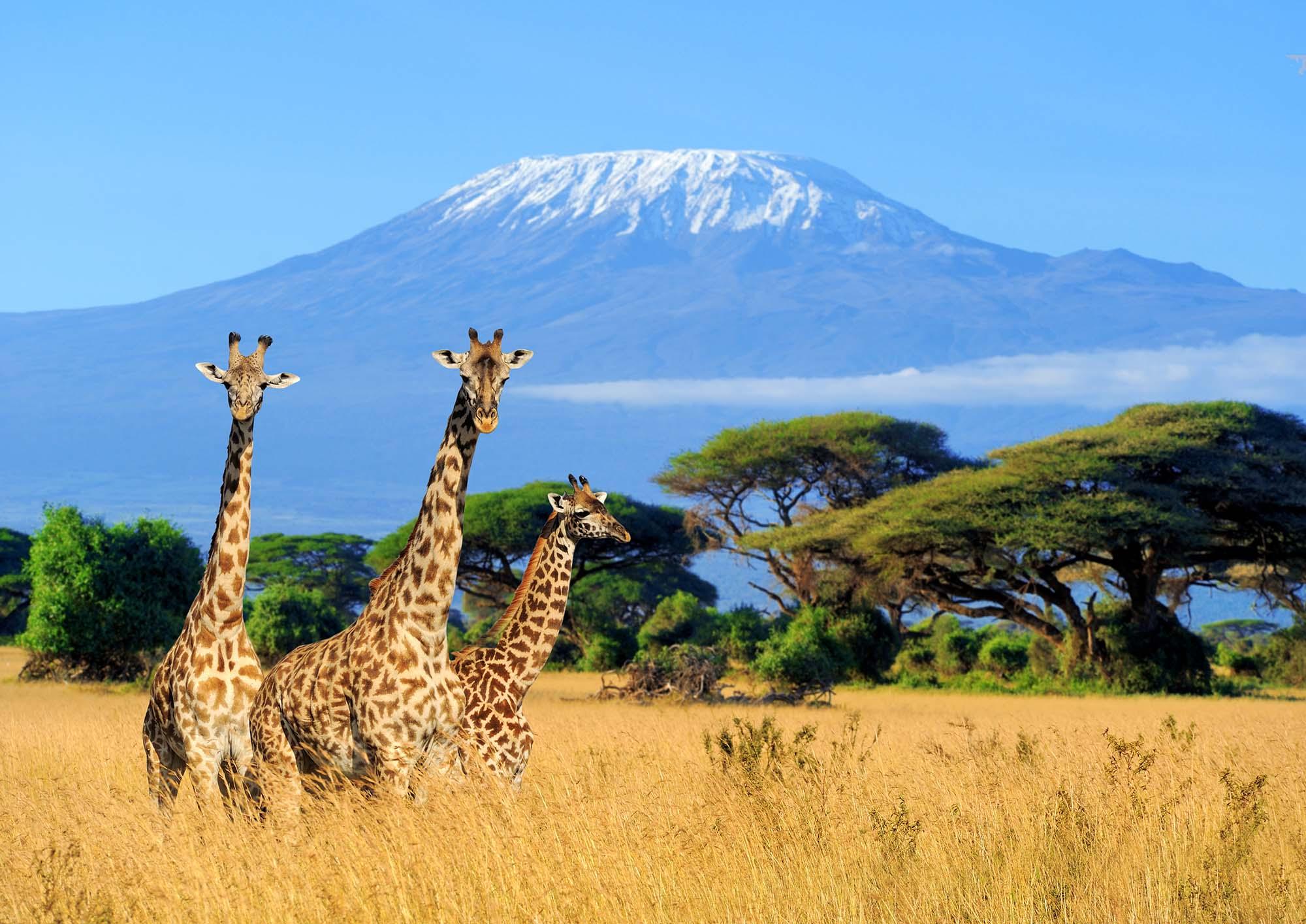 Three,Giraffe,On,Kilimanjaro,Mount,Background,In,National,Park,Of