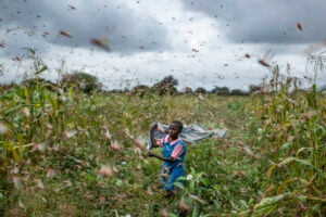 A farmer's daughter waves her shawl in the air to try to chase away swarms of desert locusts from her crops