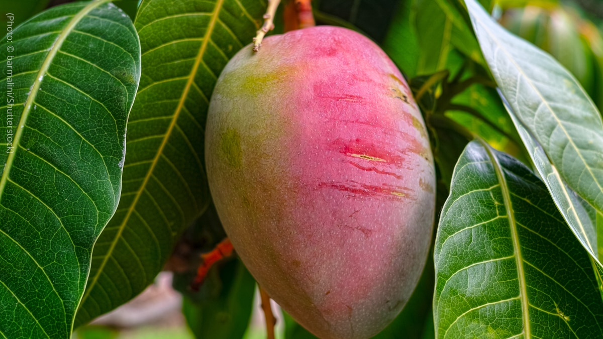 A mango is pictured.